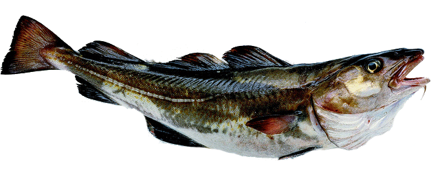 Kabeljauw-vis